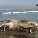 Después de un rato de trabajo la ballena fue devuelta mar adentro para reencontrarse con las otras dos que permanecieron alejadas en espera de su compañera.