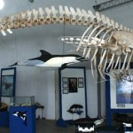 Mucha promoción para el avistamiento de ballenas pero no hay apoyo por parte de los Gobiernos Estatal y Municipal para el Museo de la Ballena.