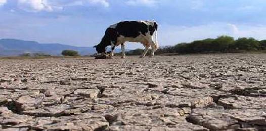 En peligro de muerte por la sequía más de 150 mil cabezas de ganado