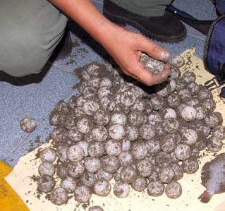 Detienen a vendedor de huevos de tortuga