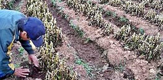 Afectados por heladas más de 6 mil hectáreas de cultivos