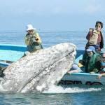 Pese a la cantidad de ballenas, aproximadamente unos 187 adultos y 113 ballenatos en la laguna Ojo de Liebre, y Estero San José, en Guerrero Negro es poca la actividad turística en esta temporada 2011.