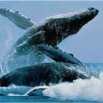 El Programa de Ecología de Ballenas, debemos recordar, tiene como objetivo primordial apoyar, con datos recopilados por estudiantes en excursiones guiadas por científicos, a candidatos de licenciatura, maestría y doctorado que estén realizando investigaciones sobre temas tales como migración, distribución y genética de mamíferos marinos.