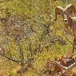 En octubre se realizarán los sobrevuelos prospectivos tanto en las 12 Unidades de Manejo Ambiental autorizadas para permitir la caza deportiva del cimarrón en la entidad así como en otras localidades en donde existen poblaciones potenciales de este emblemático ungulado local.