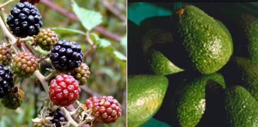 Buscarán producir zarzamora y aguacate tras intercambio tecnológico con Michoacán