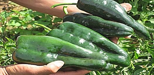 Productores en la ruina. Pérdida total de la cosecha de chile en Pescadero y Todos Santos