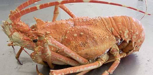 Mantiene su certificación la pesquería de Langosta Roja en la Pacífico norte