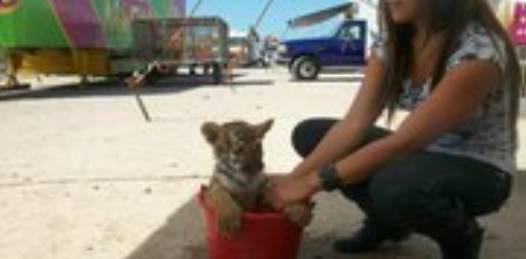 ¡El colmo! se robaron un tigre del circo