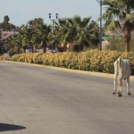 El ganado anda suelto por los caminos y carreteras provocando accidentes viales.