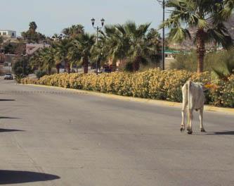 Deben denunciar accidentes por ganado en carretera