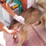 La campaña dio inicio el día lunes 5 de marzo, con el objetivo de vacunar a 38, 805 perros y gatos contra la rabia en el municipio de La Paz y a 45, 614 en toda la Jurisdicción Sanitaria 03, sin embargo hasta el día de ayer únicamente 4, 057 mascotas recibieron la vacuna. La campaña termina el 17 de marzo.