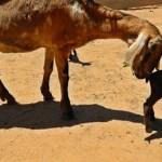 El nacimiento de estos animales es, explicó, resultado de un esfuerzo de colaboración entre instancias educativas locales, como la UABCS y la UABC, y del apoyo de Agencia Española para la Cooperación Internacional, así como los tres niveles de gobierno.