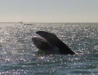 """""""Afecta la actividad en zonas costeras a grandes especies de cetáceos"""": investigadores de la UABCS"""
