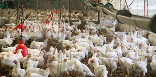 Libre BCS de Influenza Aviar