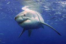 Náufrago es salvado por …un tiburón