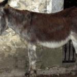 burro asambleista