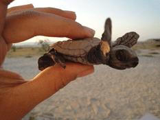Liberan a miles de crías de tortuga
