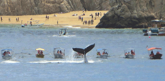 Majestuoso espectáculo dan las ballenas