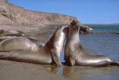 A proteger a los lobos marinos