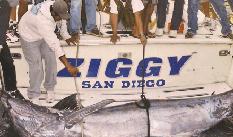 Ayudó veda de tiburón a pescar al marlin negro