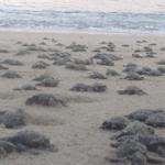 tortugas laúd del Pacífico