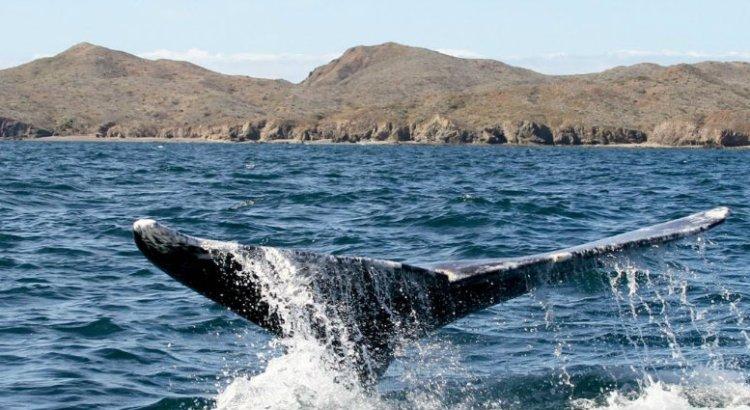 Estudian condición corporal de ballena azul