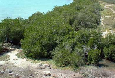 Encuentran deterioro en bosques de manglares