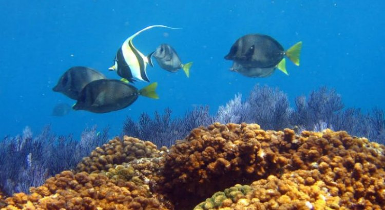 Buscan en la UABCS restaurar arrecifes coralinos dañados