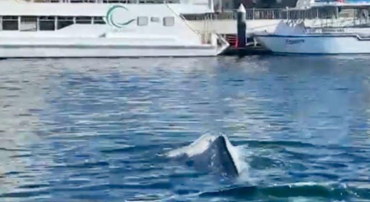 Llegó una ballena gris hasta el muelle de CSL