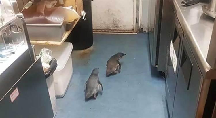 Tuvo la policía que  desalojar a dos pingüinos