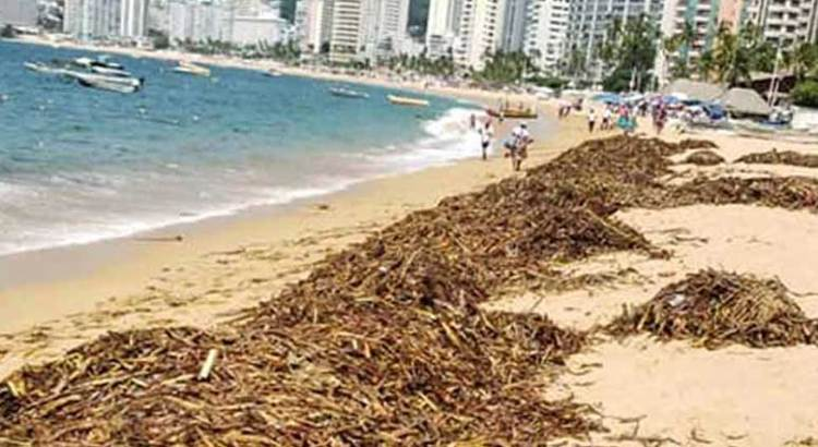 Invade lirio acuático playas de Acapulco