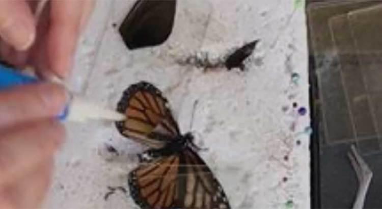 Le salvó la vida a una mariposa monarca