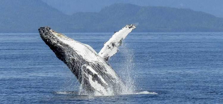 Arrancan preparativos para avistamiento de ballenas en Puerto Chale