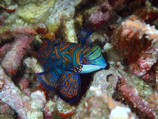 Ikan Mandarin (Synchiropus splendidus) Raja Ampat