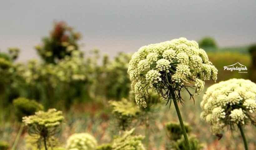 Edelweiss Gede - Pangrango