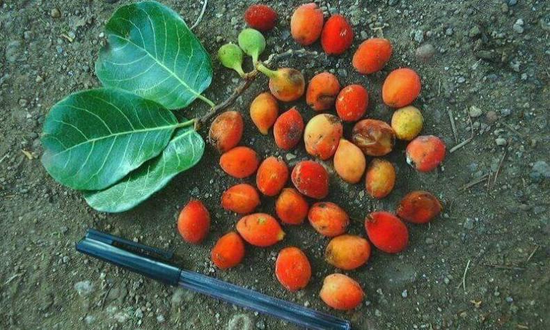Buah pohon upas (antiaris toxicaria)
