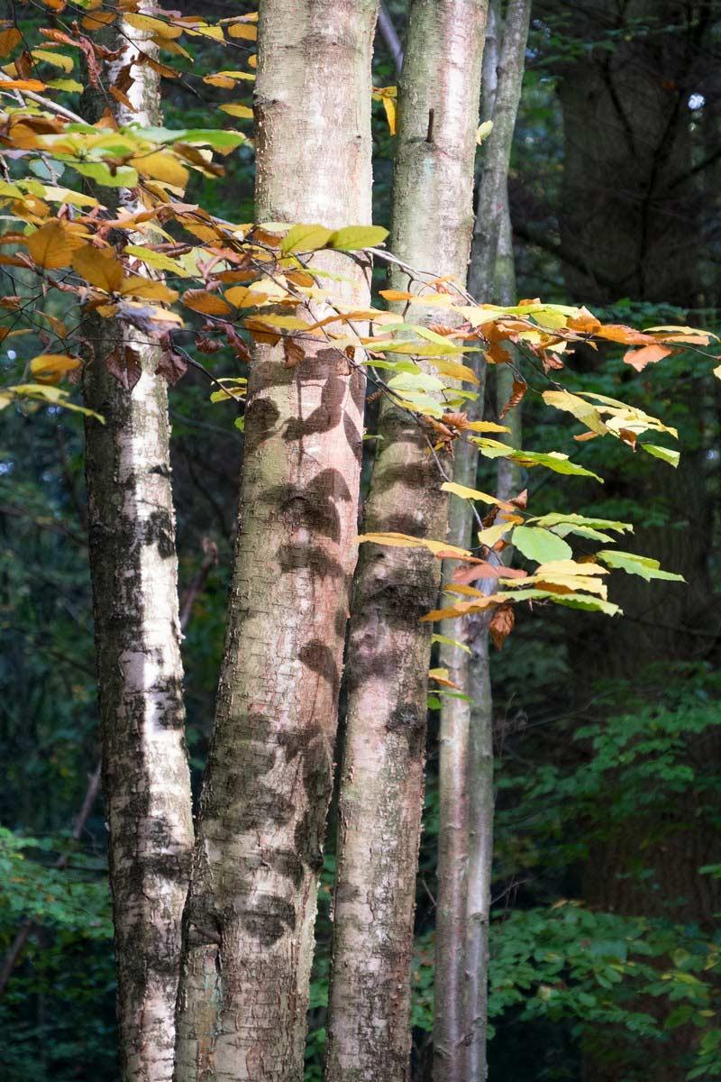 common-wood-3