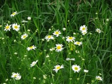Chamomile at Field's Edge