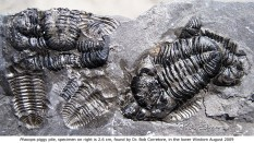 Dr. Bob's trilobite pile. The whole guy on the right is 2.6 cm long. Lower Windom 8-22-2009.