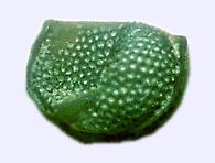 hibbardia
