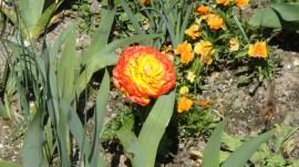 Orange flowers, by Penne Cole