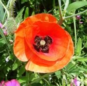 Orange flower @ Cinque Terre
