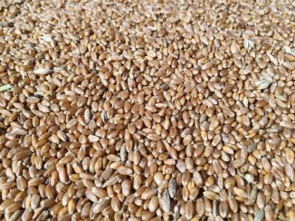 Hard Red Spring Wheat Berries