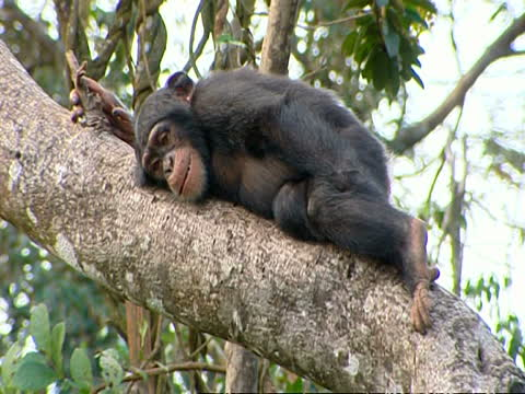 Chimp In Recovery