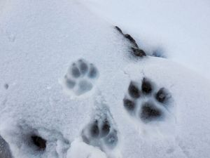 mountain dogs' paws on snow while hiking to Tunganath temple in Chopta, Uttrakhand