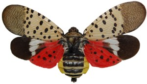 Picture of an adult Spotted Lanternfly