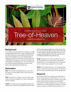 Invasive weeds fact sheet: Ailanthus Altissima commonly known as Tree of Heaven