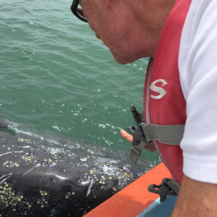 More close encounters with grey whales