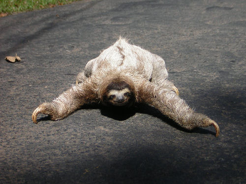 Sloths have the lowest metabolism of any animal....there are 2 toed and 3 toed sloths..we came across this one on the road in Panama