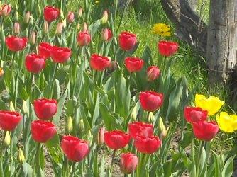tulips along the fenceline
